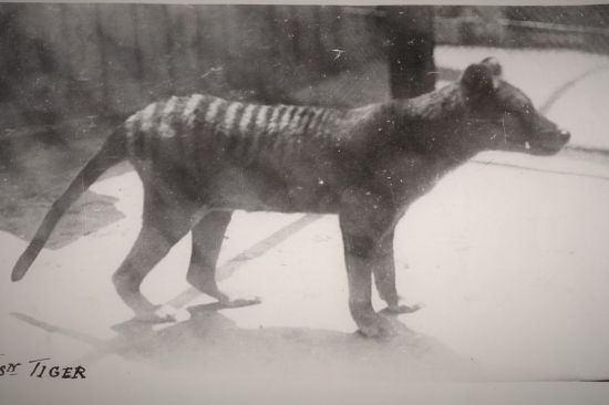 thylacine 11613074-3x2-xlarge